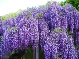 Wisteria macrostachya Blue Moon  2 - Year Graft